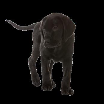 Staande zwarte labradorpup