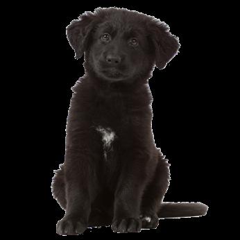 Zwart pupje met halflang haar