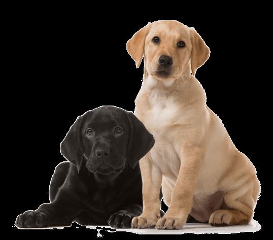 Zwarte liggende labradorpup naast blonde zittende labradorpup