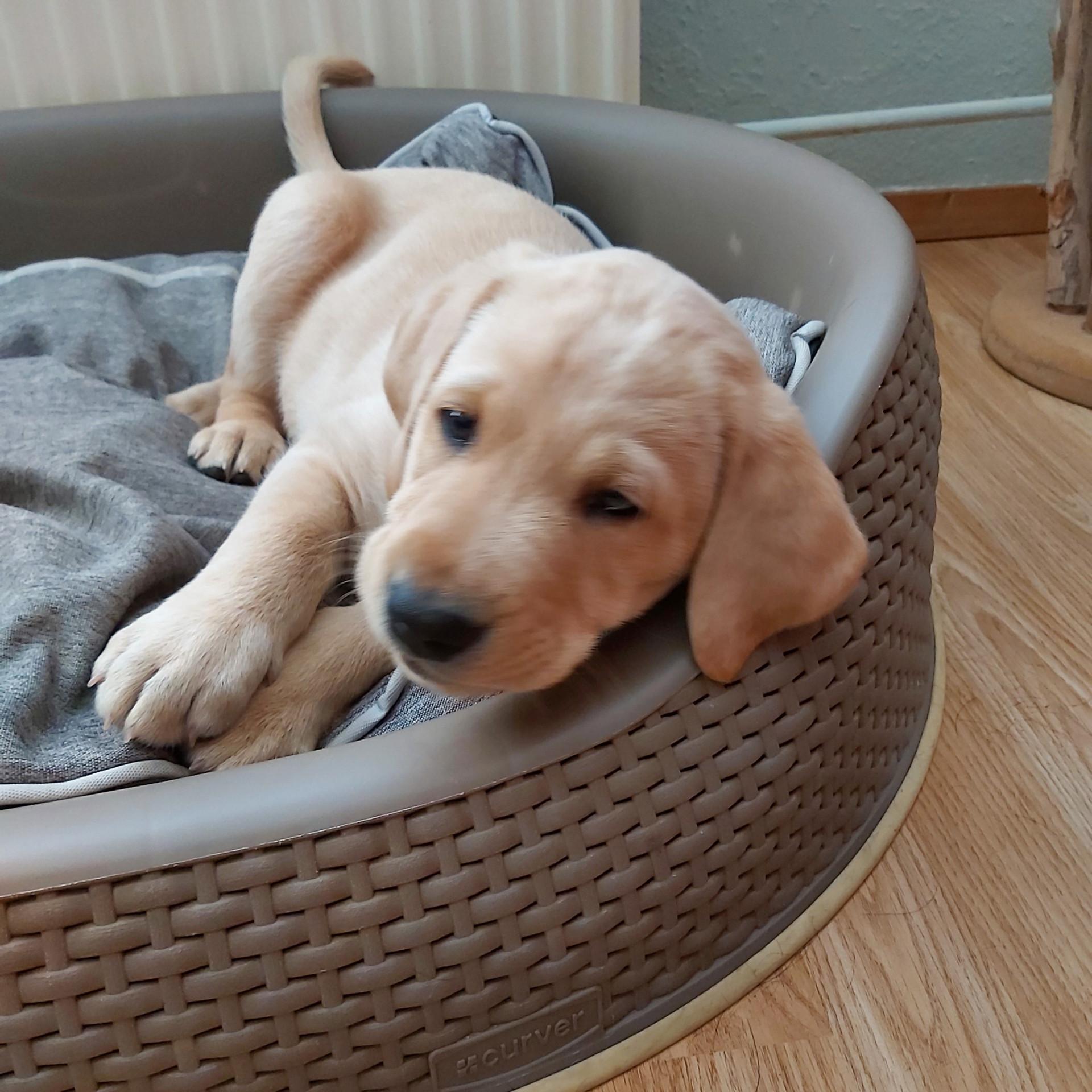 Naar het puppypleeggezin